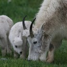 Mountain Goats (Oreamnos americanus)
